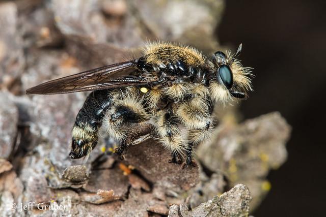 Robber Fly (Laphria cinerea)