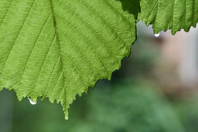 Dues gotes d'aigua a les fulles d'un avellaner (Corylus avellana L.). Captura: Passeig de la Font Nova, Camprodon, Ripollès, Girona, Catalunya.