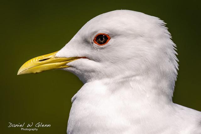 Portrait of a Mew Gull