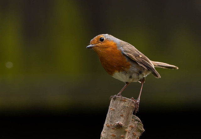Our inquisitive Robin