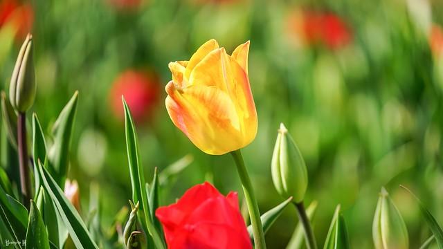 9816 - Tulipe