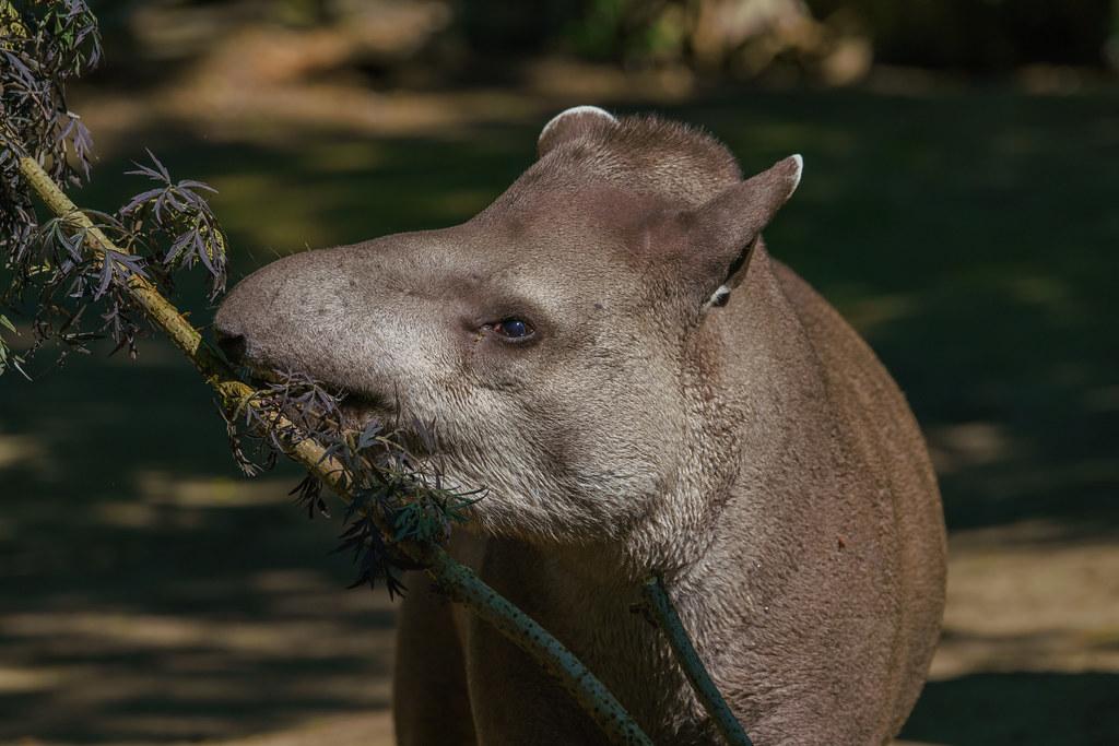 Zuid-Amerikaanse Tapir_02