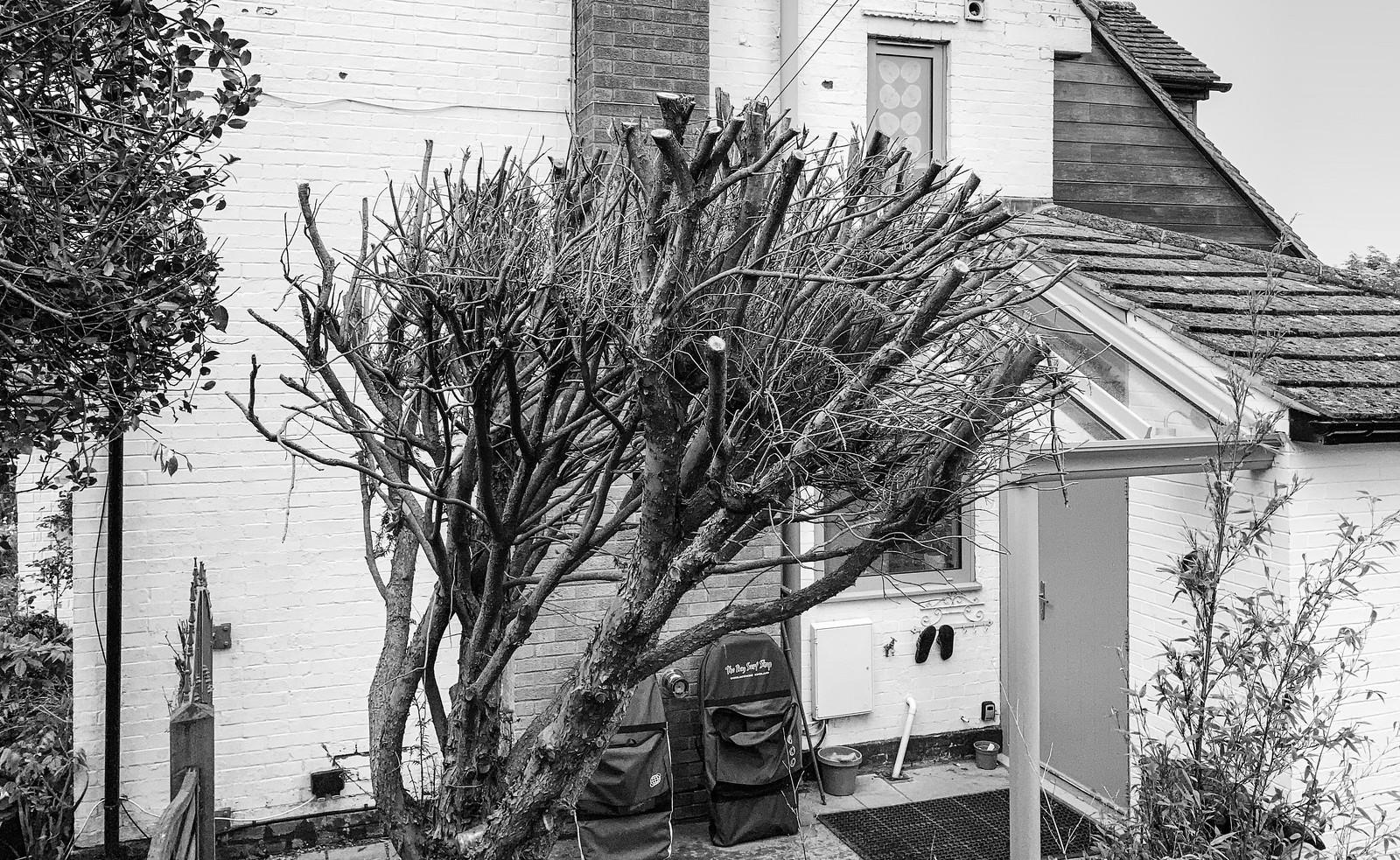 Yew tree post-haircut
