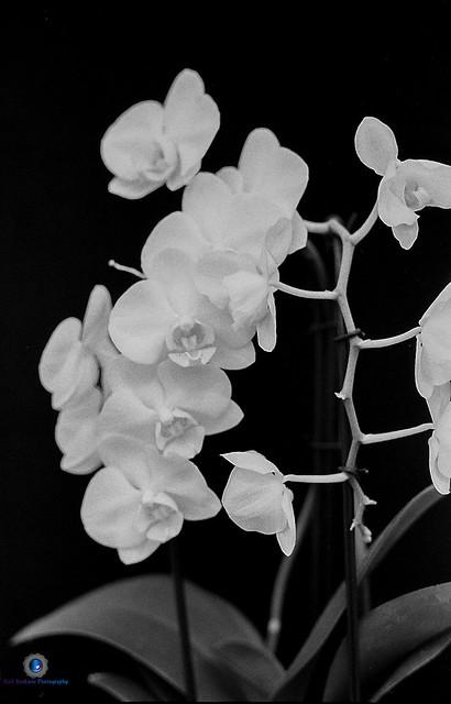 Moon Orchid Still Life