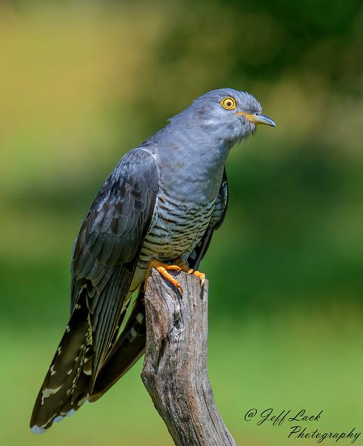 DSC3943  Cuckoo...