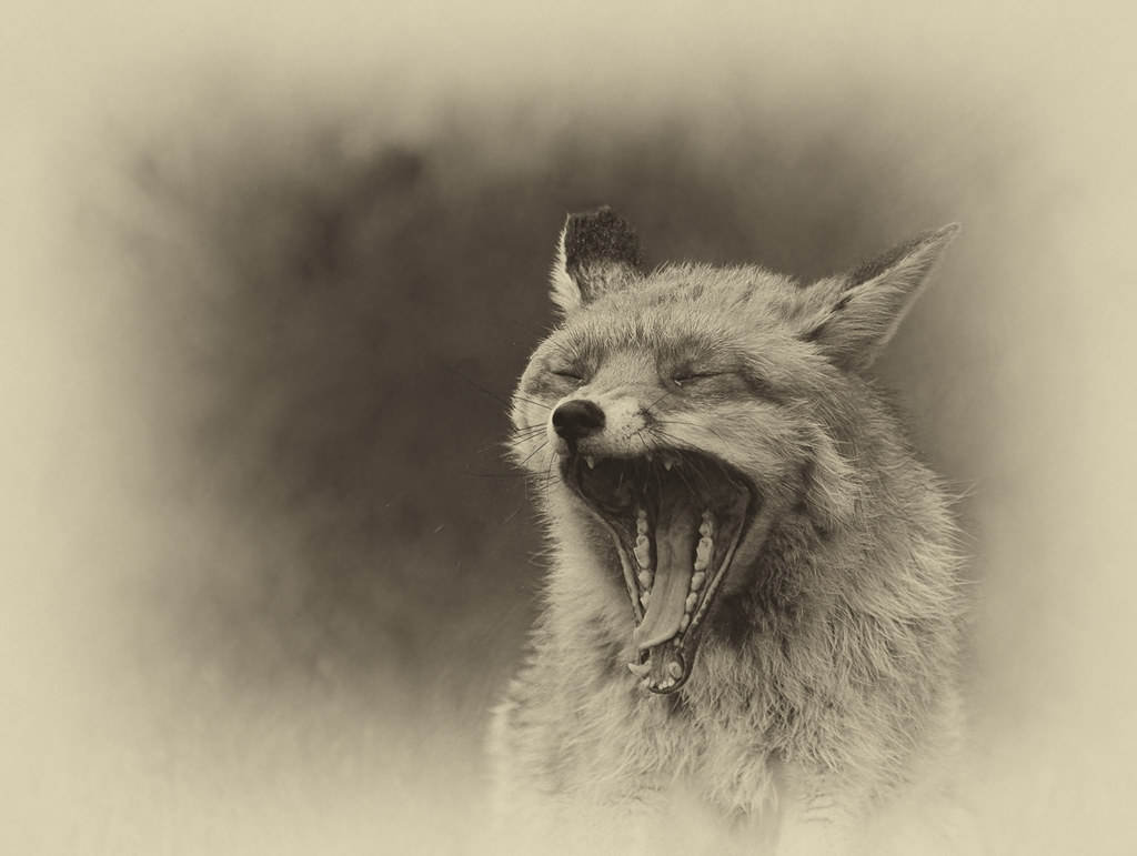 Fox_0364
