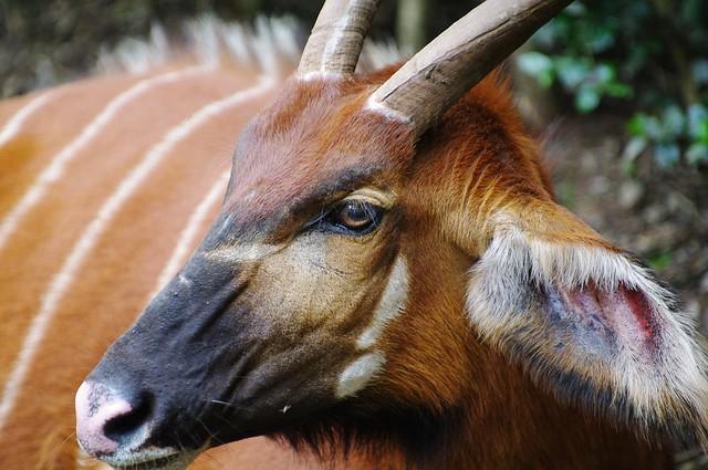 Meeting Eye To Eye - Eastern Or Mountain Bongo ( T. e. isaaci)