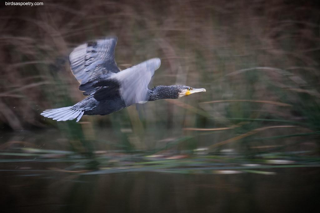 Great Cormorant: Outta Here!
