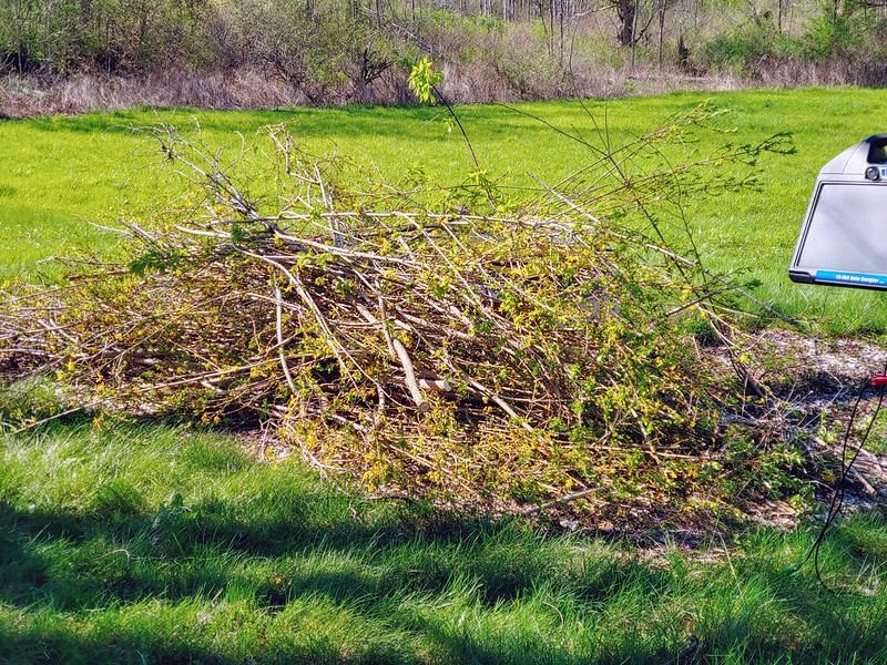 All the branches cut off the forsythia