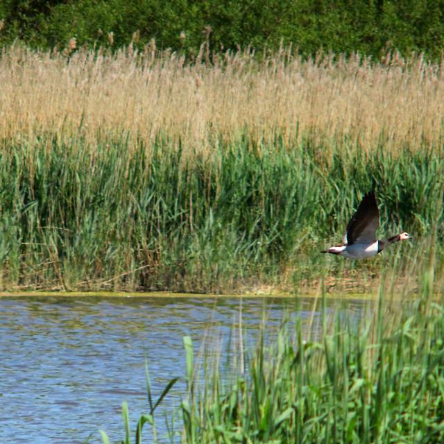 Barnacle goose, Branta leucopsis, Vitkindad gås