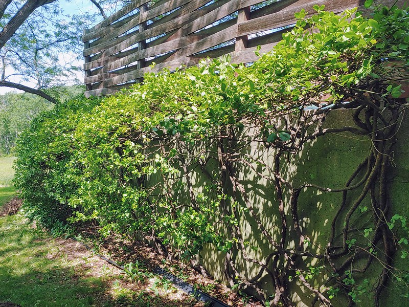 Euonymus Hedge - pruned