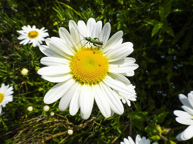 Grüner Scheinbockkäfer / Green longhorn beetle