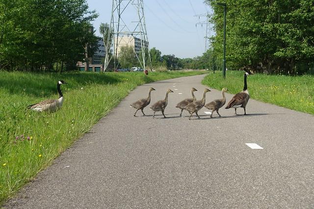 Walking across the road.