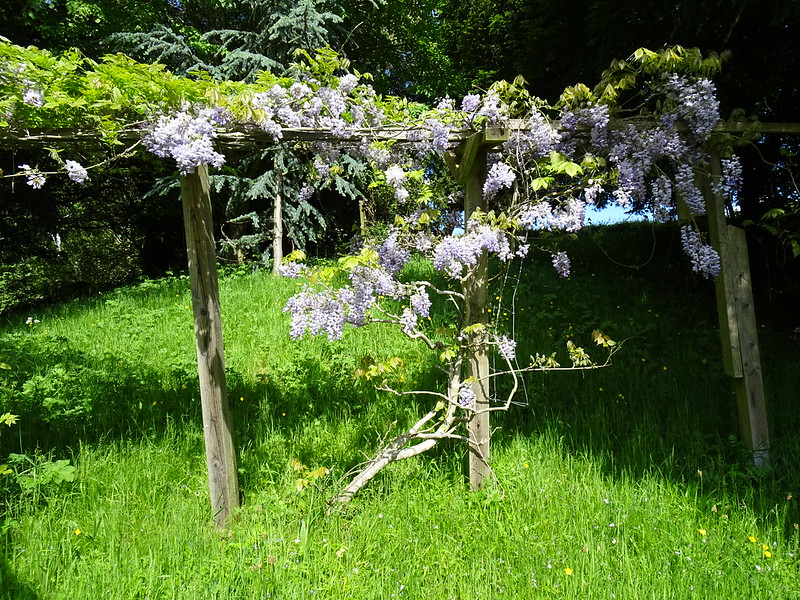Jean's wisteria in full bloom