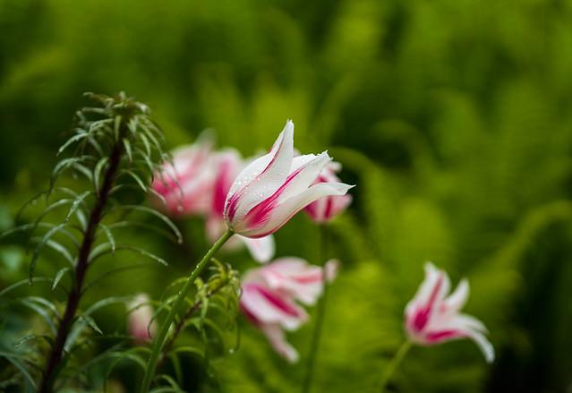 Tulip and ferns