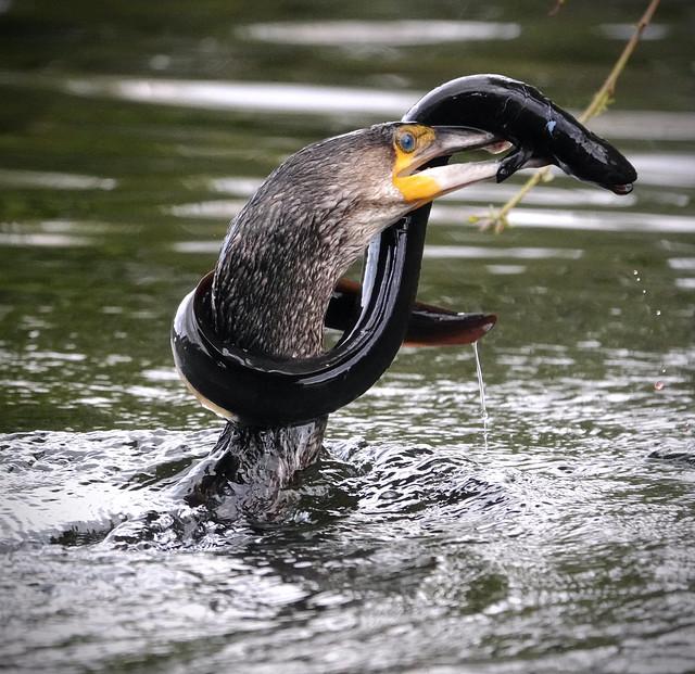 Cormorant and eel.