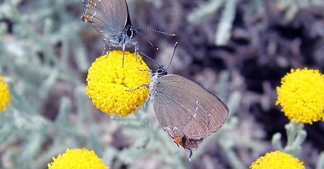 Πεταλούδες του τόπου μας