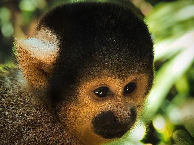 Squirrel monkey in contemplation