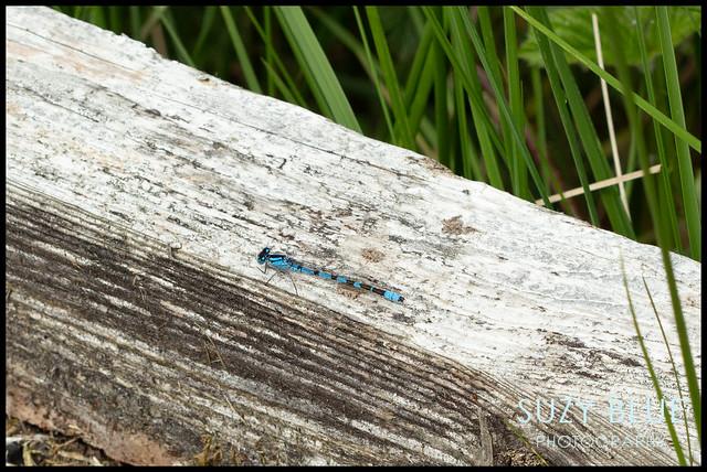 Common Blue Damselfly (m)