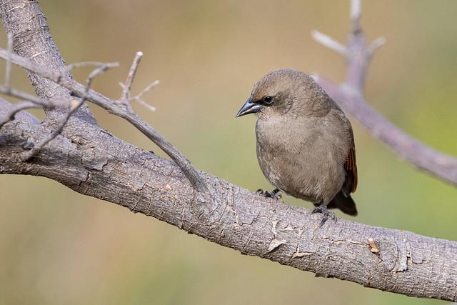 Tordo músico - Bay-winged Cowbird
