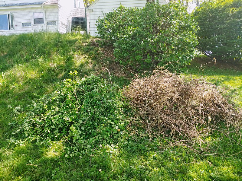 Euonymus Hedge - prunings
