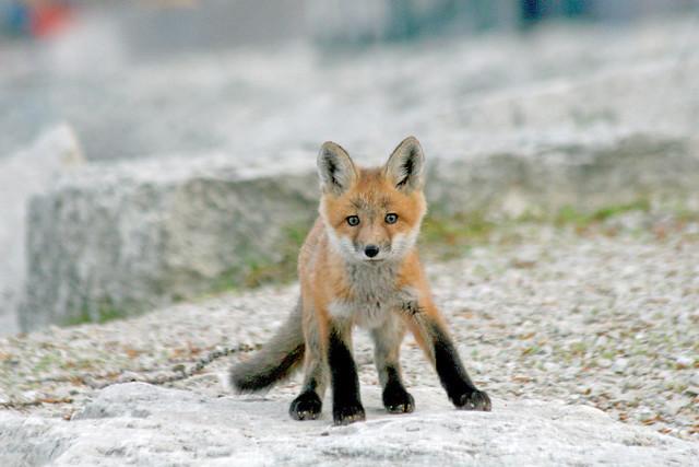 Big World, Little Fox