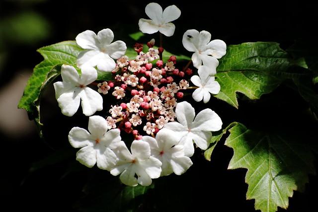 Viburnum cultivar