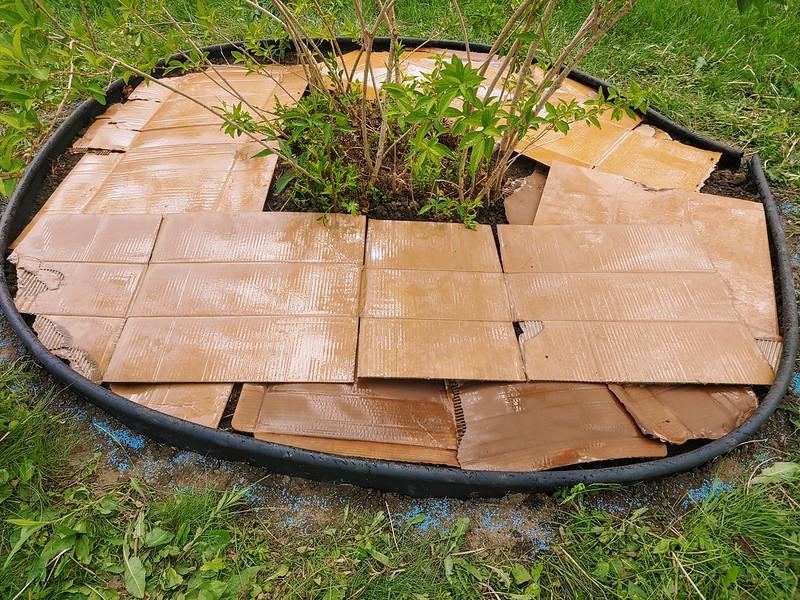 Damp cardboard as a weedblock