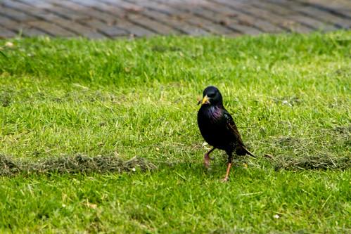 Feeding time: starling, Bantock Park