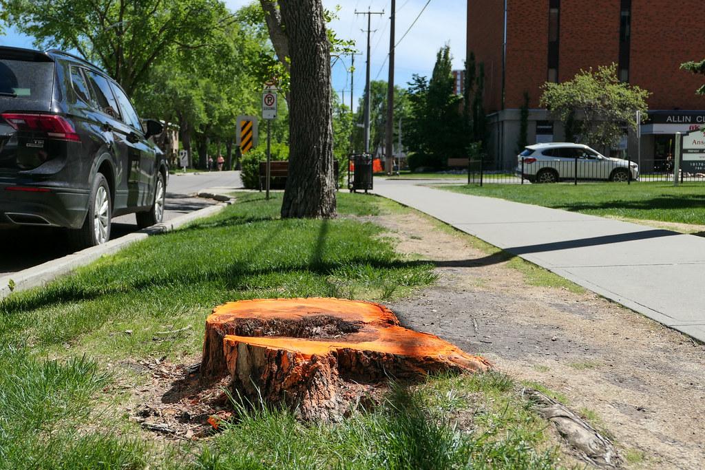 Boulevard tree stump.