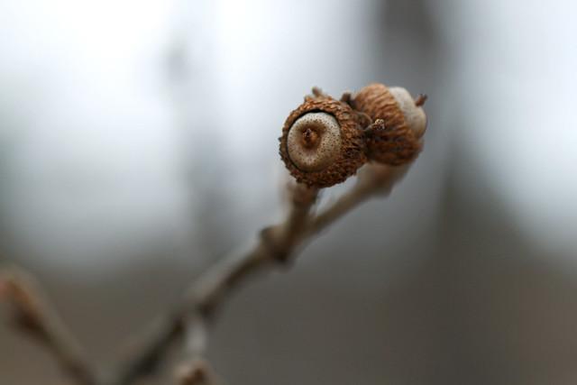 Acorns, Oregon White Oak (Quercus garryana)