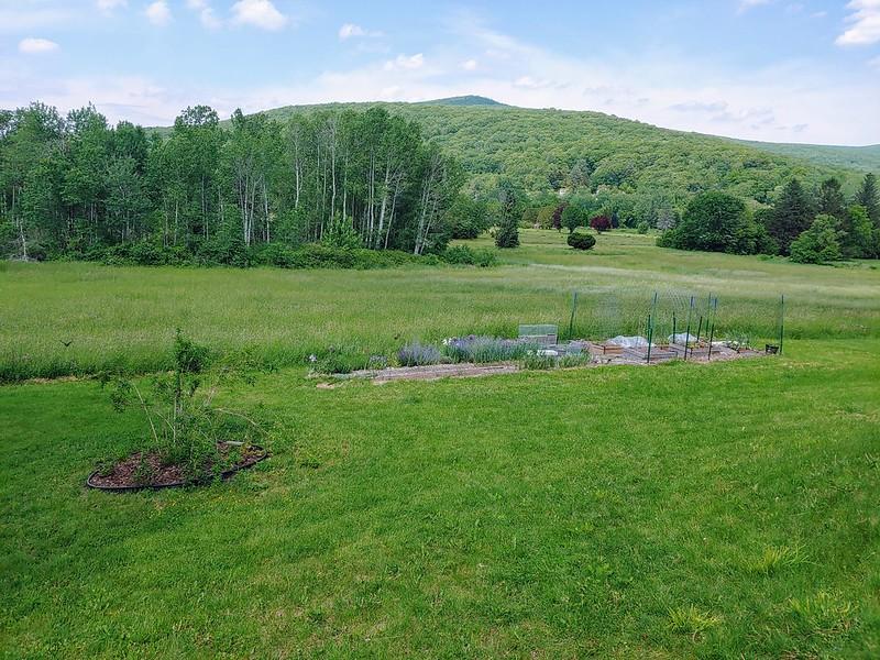 Pruning & Rehabilitating an Overgrown Forsythia Shrub