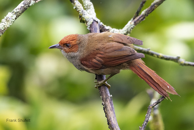 Red-faced Spinetail (Cranioleuca erythrops)