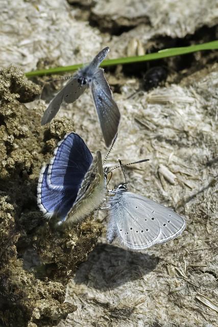 Small Blue (Cupido minimus) & Adonis Blue (Polyommatus bellargus)