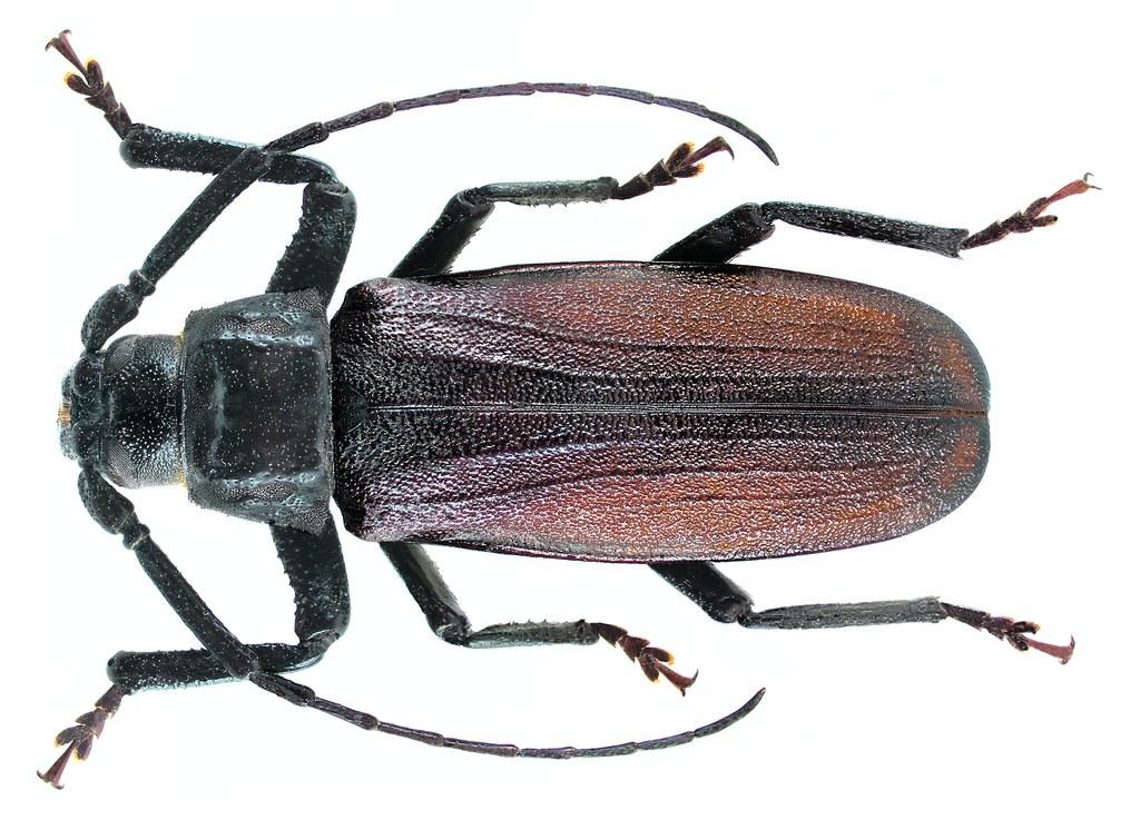 Anomophysis hainana (Gressitt, 1940) Male