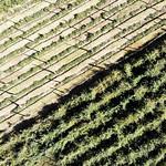 Desmodium intortum plot on trallies, Debrezeit