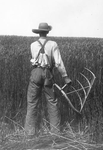Cradling Wheat 1912   Sallows