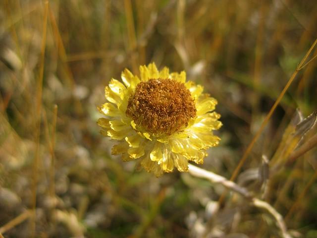 A Yellow Everlasting Flower