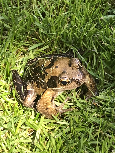 Frog in the Grass!