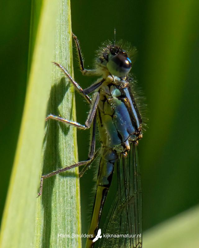 lantaarntje (Ischnura elegans)-850_3459