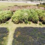 Napier grass and Vetch plots-Debre Zeit (2)