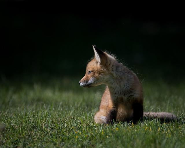 Kit Fox 1