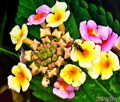 Flores Lantanas..