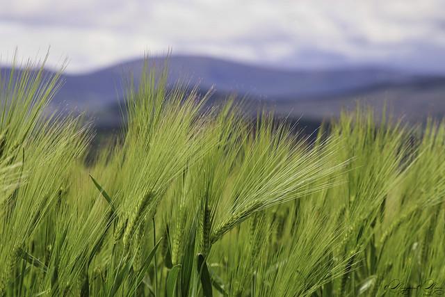 New barley