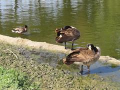 Duck Goose Goose