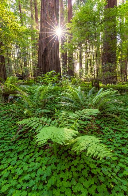 Fern and Clover Forest Sunburst