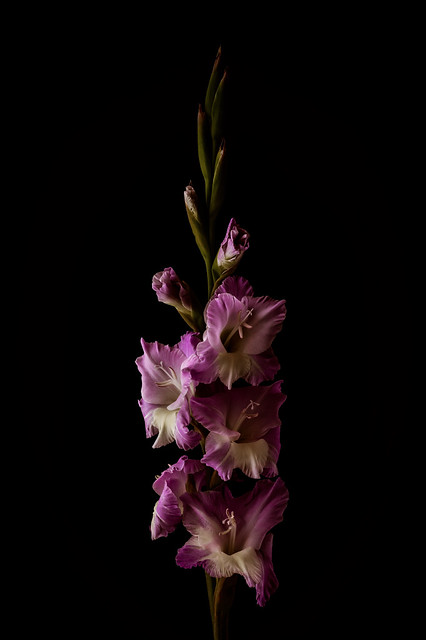 Gladiolus on Black