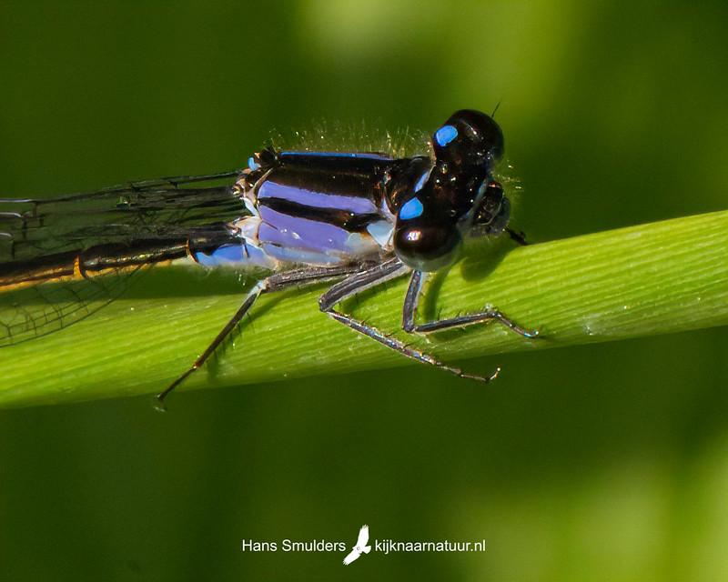 lantaarntje (Ischnura elegans)-850_3461