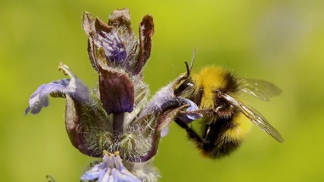 Early Bumble Bee (m) - Bombus Pratorum