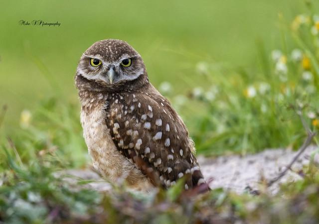 Owlet -Burrowing owl
